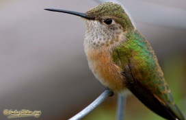 10091_Hummingbird_Close-Up