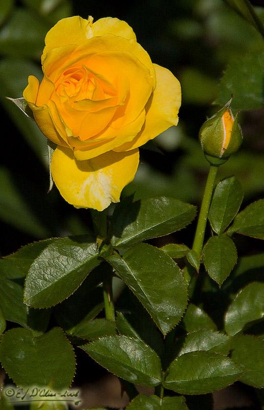 11102_rose