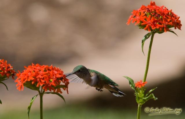 9618_Hummingbird_Feeding_shrp