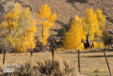 Cattle drive along CO-Highway 149