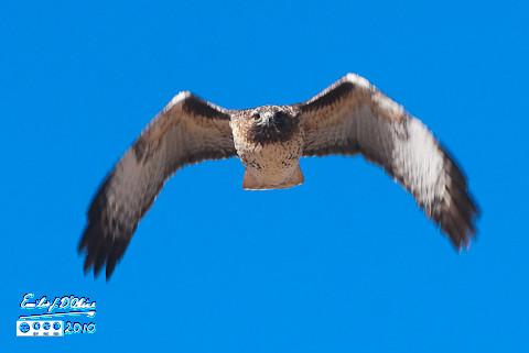 Northern-Harrier Hawk