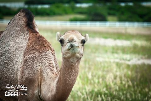 Colorado Camel - female