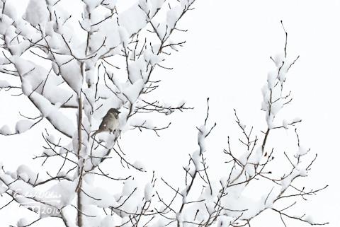 A Sparrow braving the big April snowstorm