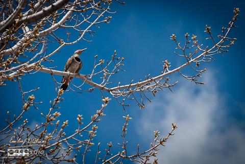 Northern Flicker on budding dogwood tree