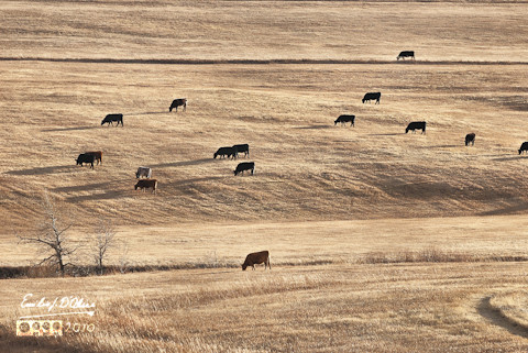 The Cows of November