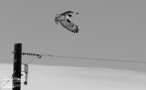 Hawk in B&W