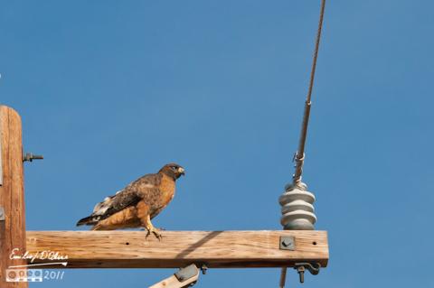 Hawk on pole caught in full wink