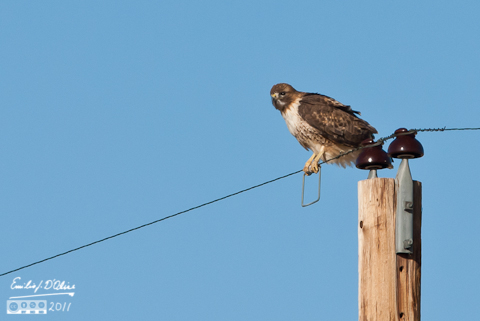 Hawk on a wire - County Line Rd.