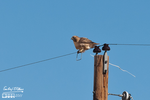 Red Tailed Hawk - Crapping