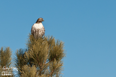 Hawk on a tree - Furrow Rd.