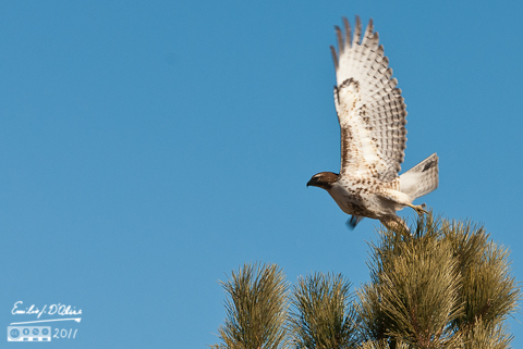 Northern Harrier Hawk (I think) taking flight from a tree