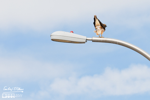 Red Tailed Hawk Mooning Me - Powers Blvd.
