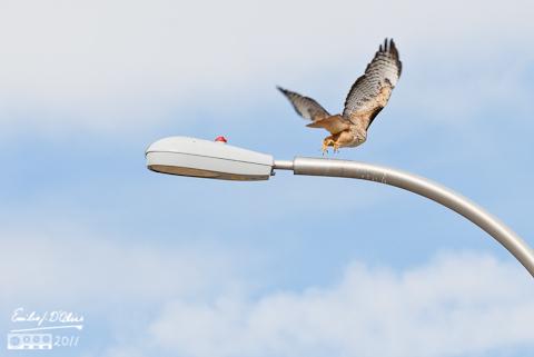 Red Tailed Hawk taking flight - Powers Blvd.
