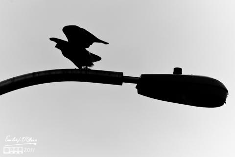 Hawk Silhouette - Powers Blvd.