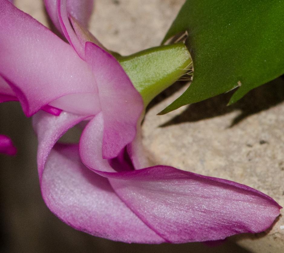 Christmas Cactus Flower - 100% crop - as shot