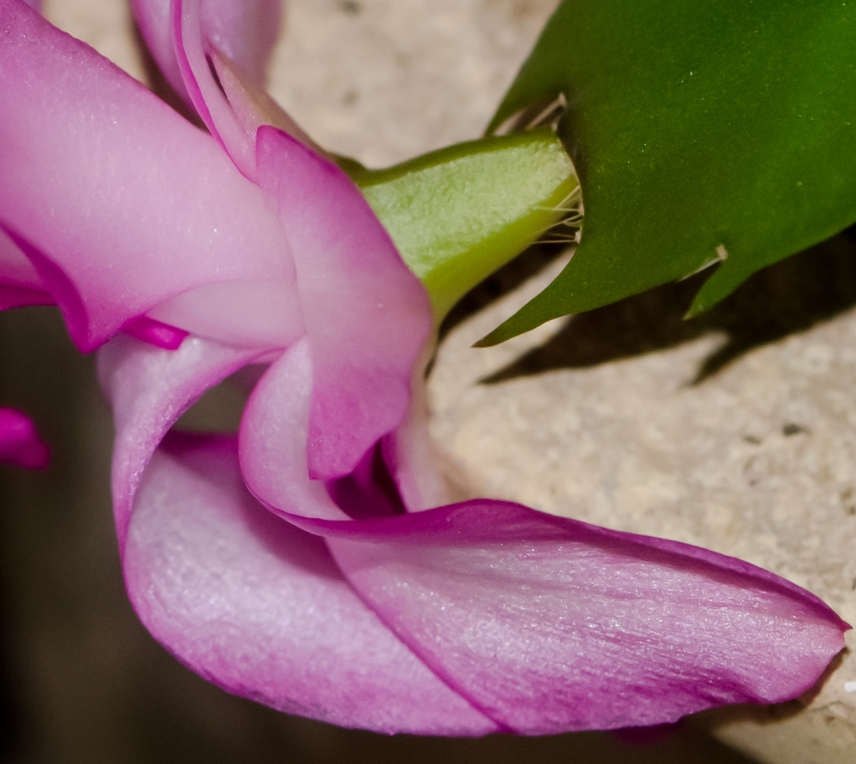 Christmas Cactus Flower - 100% crop - modified