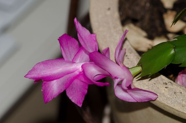 Christmas Cactus Flower - as shot
