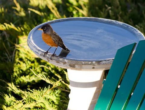 Robin at the Bird Bath