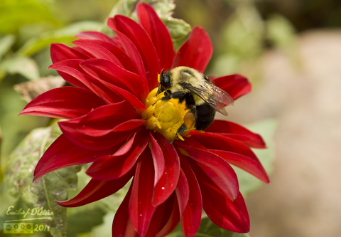 Bumble Bee on Red Dahlia