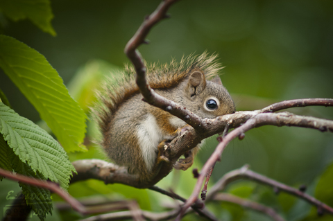 Red Squirrel - juvenile