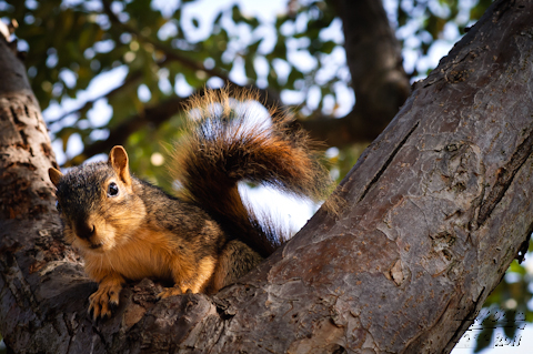 Fox Squirrel on a Tree