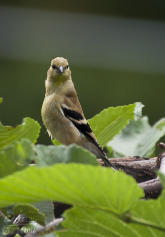 Gold Finch female in Umbrella Tree
