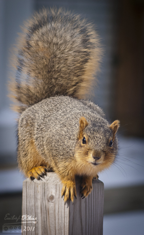 Well-Fed Fox Squirrel
