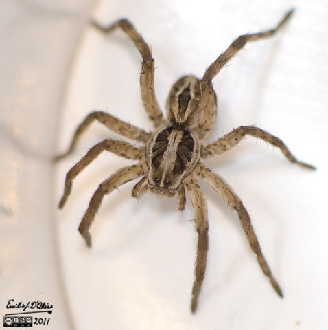 Wolf Spider in the OBTV