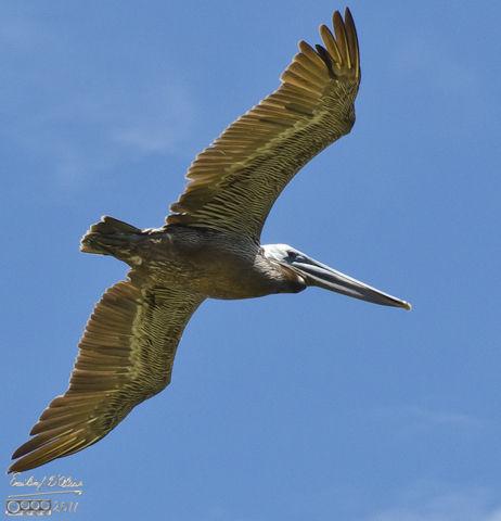 Brown Pelican gliding along