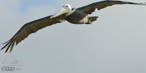 Brown Pelican looking prehistoric