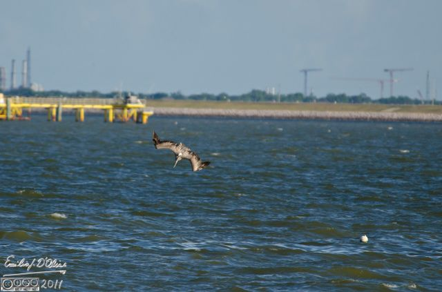 Second slide still shows the pelican tracking upright.