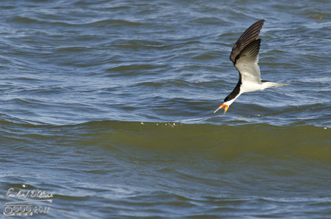 Skimmer with neck extended