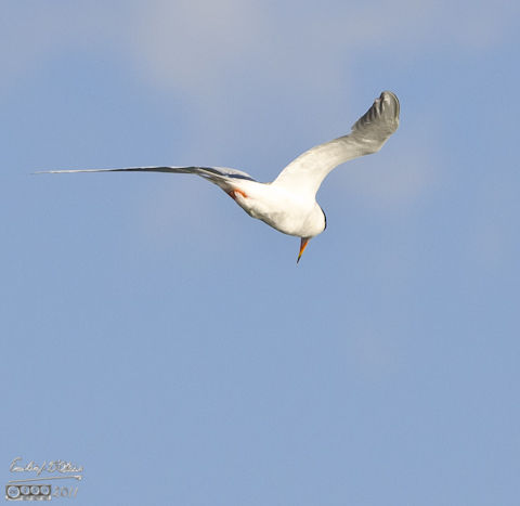 A Caspian Tern on the hunt