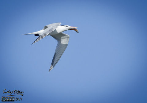 A Royal Tern after a successful hunt