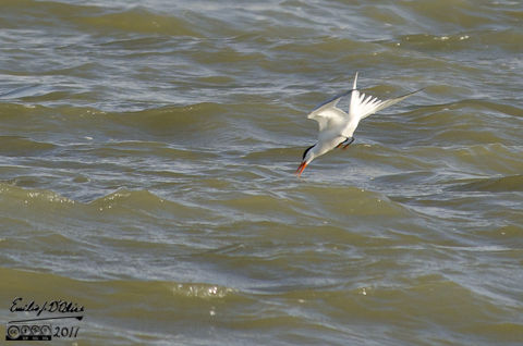 A Caspian Tern about to get itself some lunch
