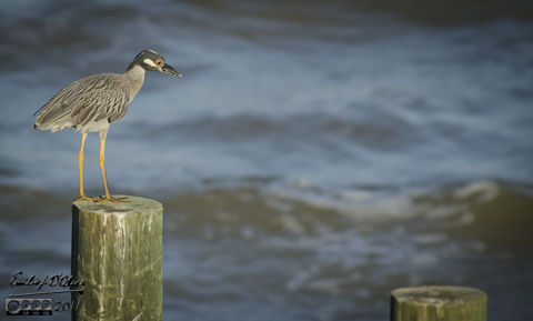 Yellow Crested Night Heron doing what it does best  . . . stalking