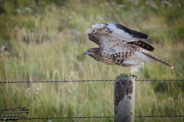 Northern Harrier hawk getting ready to pull a shepherd . . .