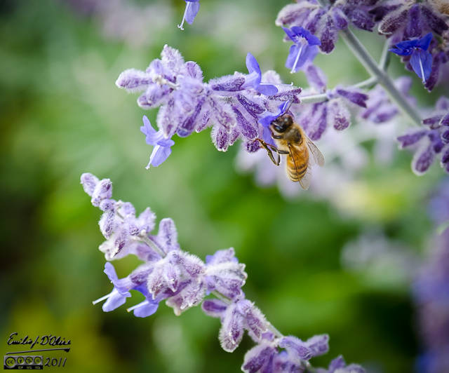 Honey Bee on Russian Sage flower