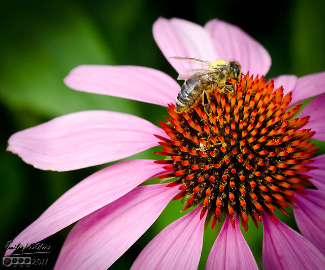 Some type of bee on a Cone Flower