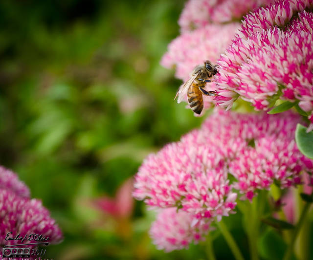 Honey Bee on Sedum Autumn Joy flowers