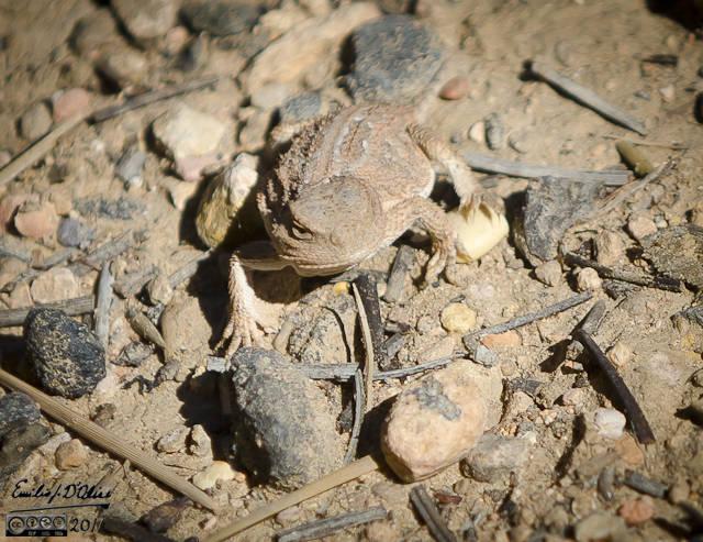 A Short Horned Lizard.