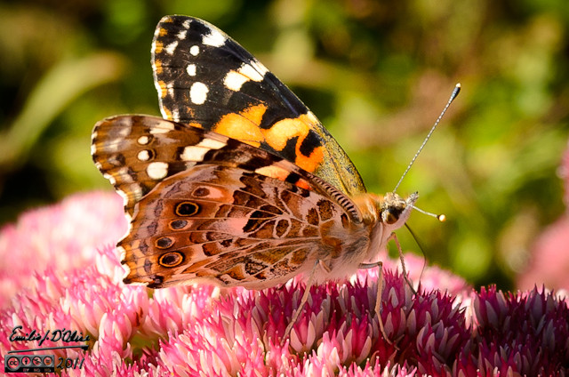 Not all the butterflies I captured on camera where from the pavilion.  This West Coast Lady visited our garden in September.