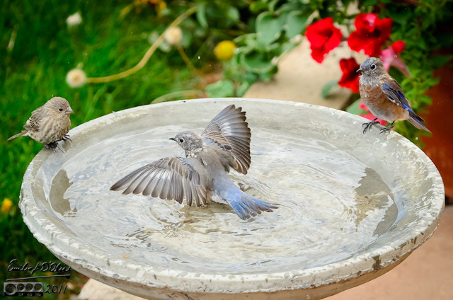 And here it is . . . my favorite picture of the year.    A young Bluebird taking a bath in our back yard.  And me to capture it all.