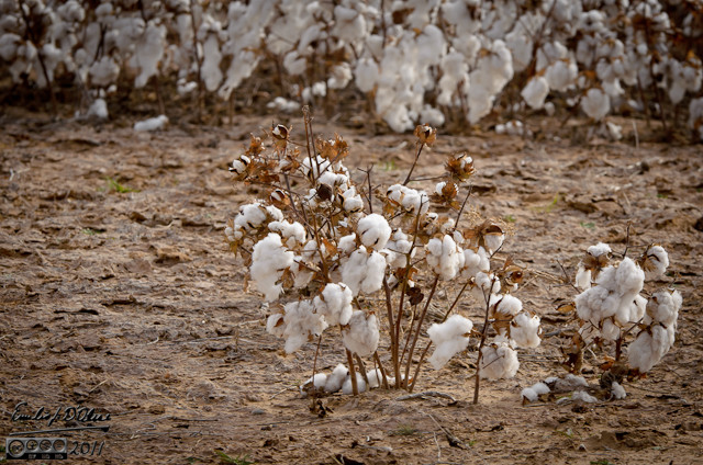 November saw us heading back to Texas . . . and I saw my first ever cotton field.  We were near harvest time, so cotton was all over the place.