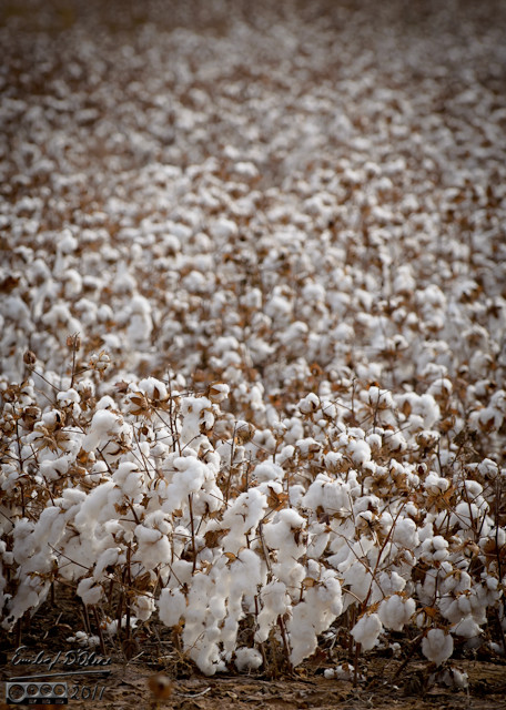 There were many fields we saw before we figured out what it was we were looking at.  I did not know they grew cotton in Texas.
