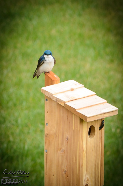 In late May Tree Swallows occupied the Blue Bird House I had put up.  I like Tree Swallows more than Blue Birds, so I was pleased.  The swallows provided me with lots of pictures.