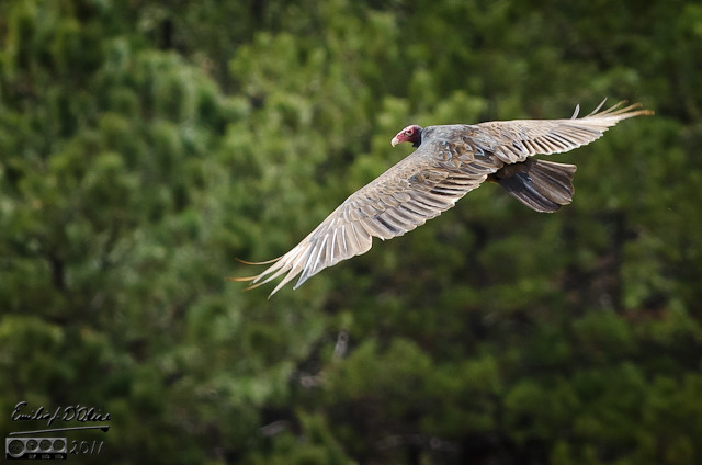 That same day I took a picture of a vulture . . . very rare for me, as I usually see them high above.