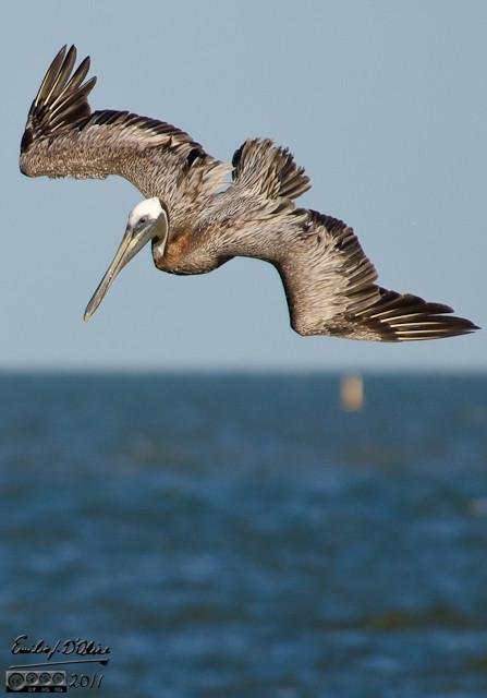 Brown Pelican diving.