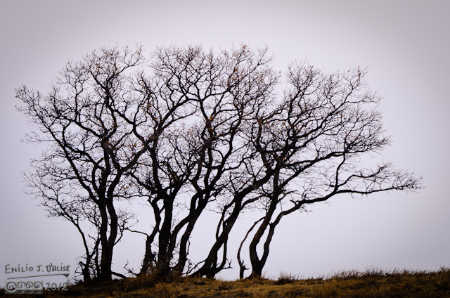 Scrub Oaks on a ridge