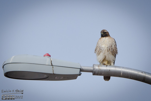 This is along Powers, the other road with lots of places for hawks to perch on.